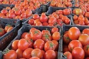 سونامی گوجه فرنگی با خرید حمایتی کنترل شد