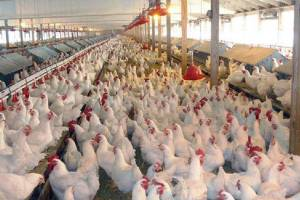 تورم ۵۹.۶ درصدی محصولات مرغداری