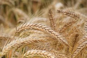قیمت گندم یکساله ۳۲.۵ درصد افزایش یافت