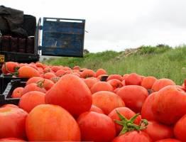 گوجهفرنگی تا ۱۰ روز دیگر ارزان میشود