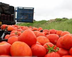 قیمت گوجهفرنگی بهزودی کاهش مییابد