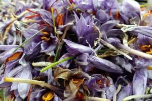 پایان خرید حمایتی زعفران از کشاورزان