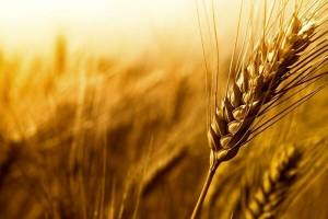 ١٤٢ هزارتن گندم از کشاورزان خریداری شد
