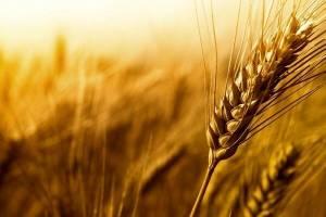 پیشبینی برداشت ۱۴ میلیون تن گندم در کشور