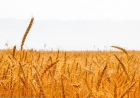 خرید گندم در کشور مرز ۲ میلیون تن را پشت سر گذاشت