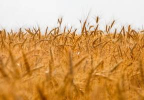 خرید تضمینی ۲.۴ میلیون تن گندم در کشور