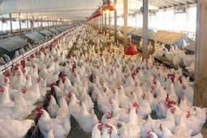 قیمت مرغ به ١١.۵ هزار تومان کاهش یافت