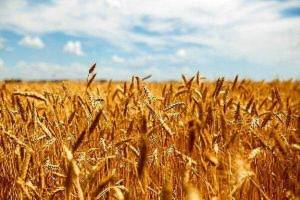 برآورد تولید ۱۴ میلیون تن گندم