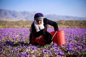 صادرات زعفران از سر گرفته شد