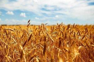 خرید ۴ میلیون و ۸ هزار تن گندم از کشاورزان
