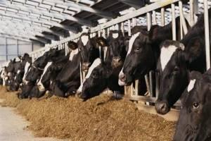 دلیل گرانی گوشت از زبان اتحادیه دامداران