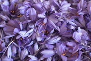 افزایش ۱۵ درصدی تولید زعفران