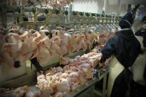 تامین نشدن نهاده مصوب؛ چالش تولیدکنندگان مرغ