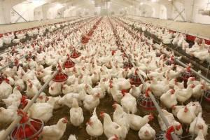 تامین به موقع نهادههای دامی قیمت مرغ را متعادل میکند