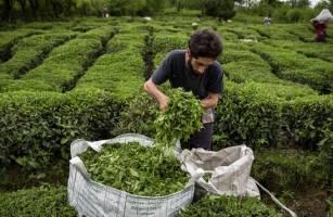 چای ایرانی به ۱۲ کشور جهان صادر میشود