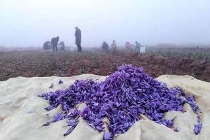 صادرات ۳۷ تن زعفران