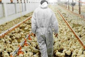 قتل عام مرغها بعد از دریافت دان یارانه ای