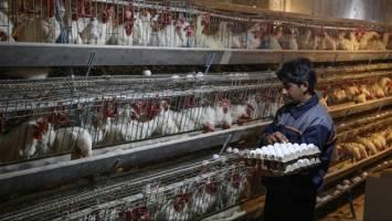 افزایش 29 درصدی تولید تخممرغ در سال 99