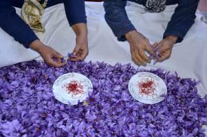 کلیات بسته حمایتی از زعفران و کشت قراردادی گندم تصویب شد