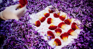 تولید زعفران ایرانی بیشتر از نیاز جهان